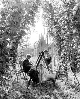 Hop picking in Paddock Wood Kent 7th September 1962