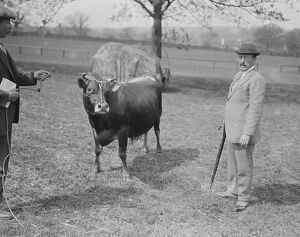 Jersey Cattle Show at Tunbridge Wells Viscount Hardinge with his 2nd prize jersey