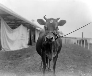 Kent County Show at Ashford - 'Arkona's Viscountess', Champion Jersey Cow