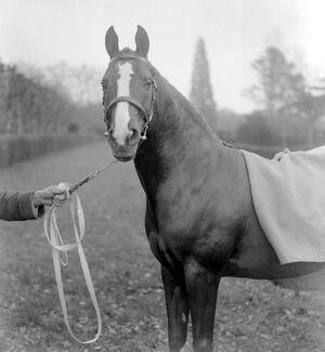 Lady Wentworth's Champion Arab Rasin at Crabbet Park Stud Sussex 17 March 1923