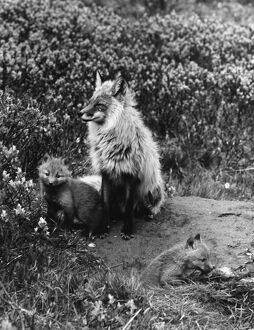 Male Red fox with pups ?TopFoto