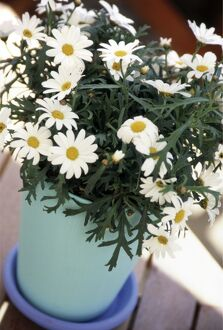 Marguerite daisies growing in clay pot painted in blue and turqoise outdoors on decking
