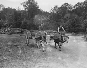 Oxen engaged on work at Cirencester Park 12 June 1923