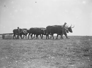 Oxen at work on the land in Sussex Exeat new barn farm, Seaford 12 August 1923