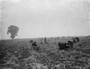 Pea picking in Swanley. 1936