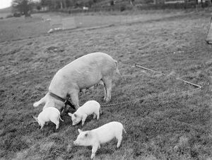 Pigs at Homewoods Farm in Seal, Kent. 1937
