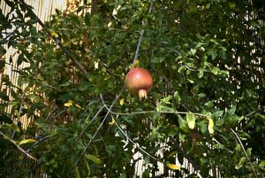 Pomegranate hanging in tree in southern Cyprus credit: Marie-Louise Avery /