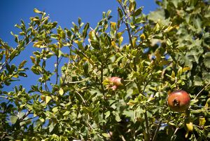 Pomegranates growing in trees in southern Cyprus, against bright blue sky credit