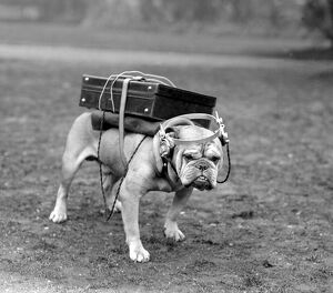 Cute bulldog with portable wireless! Typical British bulldog is quite content with