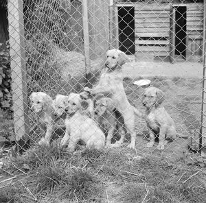Puppies in their cage at the South Darenth Kennels in Kent. 1935