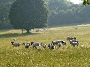 Recently shorn sheep in English pasture in high summer. credit: Marie-Louise Avery