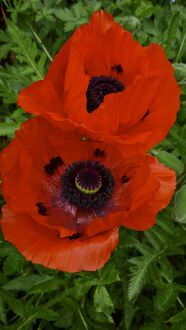 Two red poppies, against background of green leaves credit: Marie-Louise Avery