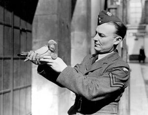 'Royal Blue' the King's racing pigeon and first carrier of the war