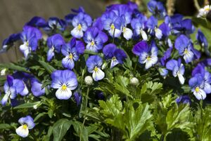 Small pansies in container pot credit: Marie-Louise Avery / thePictureKitchen / TopFoto