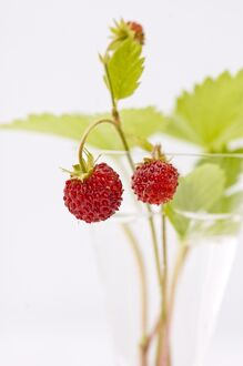 Sprigs of wild strawberries against white background credit: Marie-Louise Avery