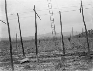The stringing of the hop poles. 1937