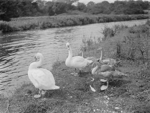 Swans and cygnets. 1937