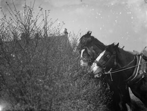 A team of working horses stop for a snack from the Blackthorn blossom in Farningham