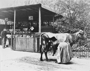 A woman milks a cow into a bottle for a drink at an early milk bar which was also