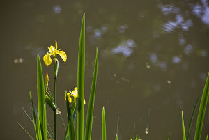 Yellow flag irises at pond margin with reflections of trees credit: Marie-Louise