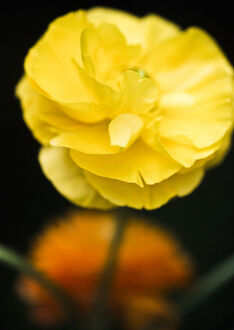 Yellow ranunculus flower against dark background credit: Marie-Louise Avery /