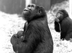 Young mother Shumba cradles her male offspring, named Kishum, who was the first arrival